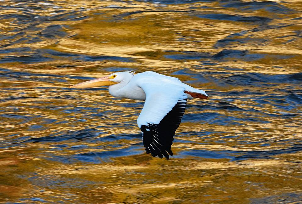 Pelican at Saylorville