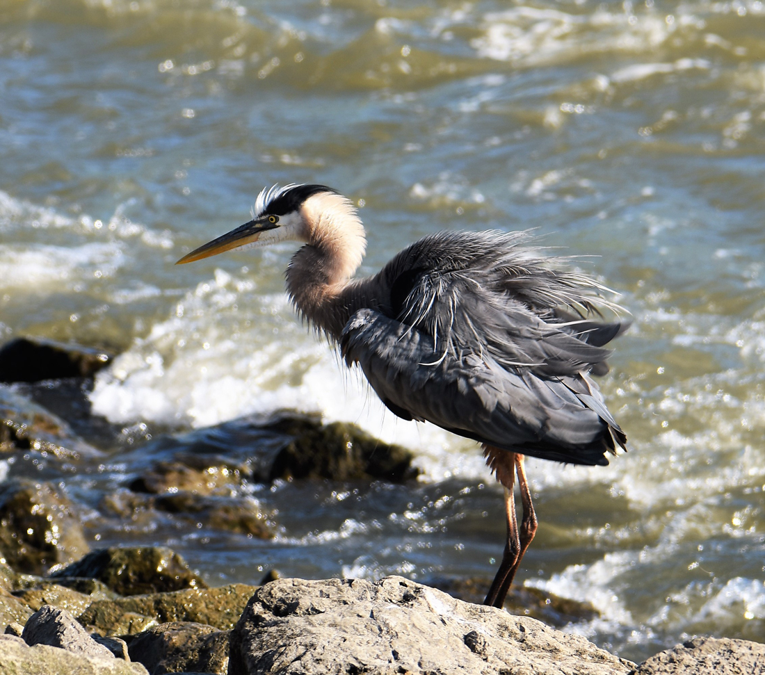 Best of Great Herons Photography | marlenkemmet.com